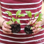 red beets in soil blocks