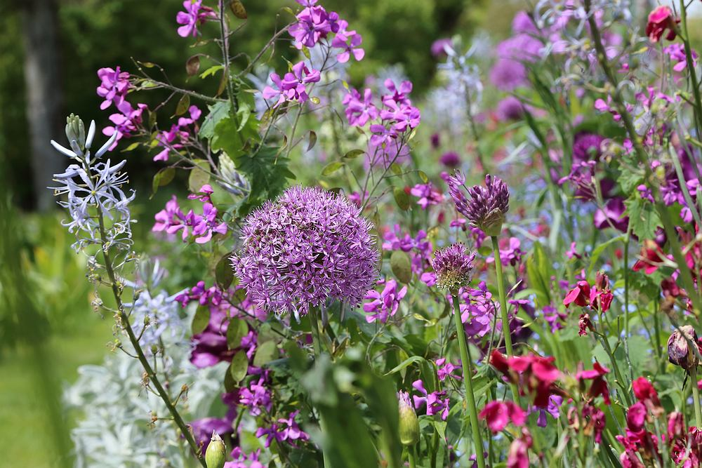 Giverny- alliums, camassia, wallflowers, honesty