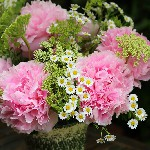 seasonal bouquet - peonies, feverfew, cenolophium